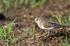 トウネン幼鳥