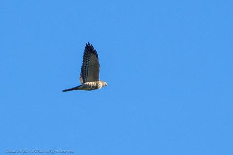 アカハラダカ幼鳥